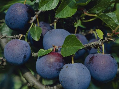 A Variety of Popular Purple Fruit