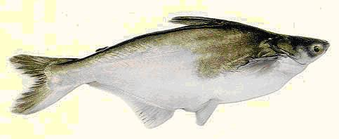 The Features of the Swai Fish